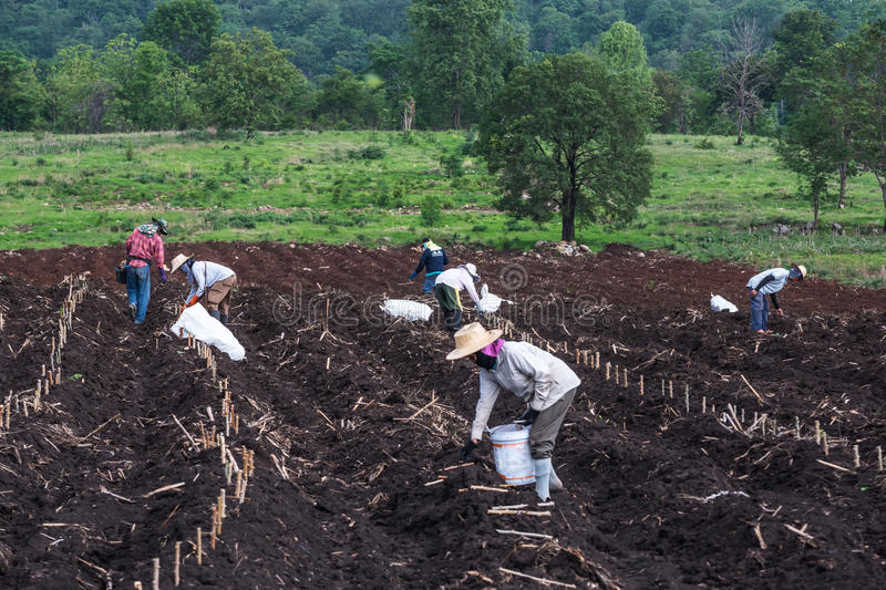 Planting in cassava field. royalty free stock image