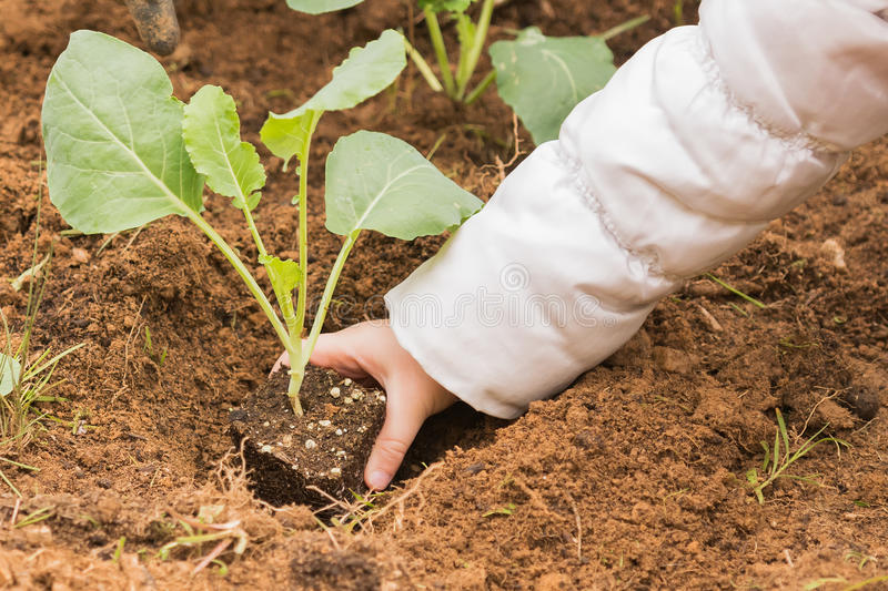 Planting a cauliflower into the fresh soil of a garden. royalty free stock image