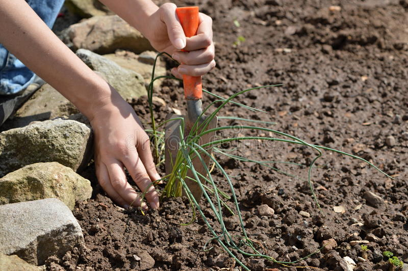 Planting chive. A woman is planting chive in a plant pot royalty free stock images