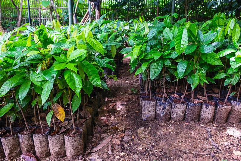 Planting cocoa seedlings from cocoa plantations stock photo