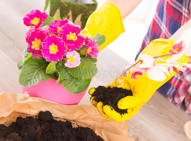 Planting colorfull flower in a flowerpot royalty free stock photos