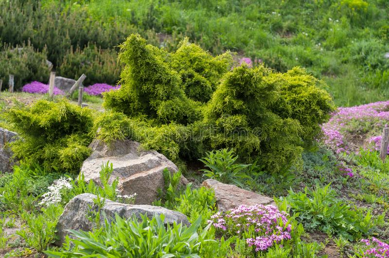 Planting coniferous shrubs and ornamental flowers near stones in the garden royalty free stock photos