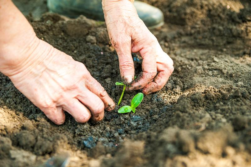 Planting cucumbers and tomatoes in open ground. Hands in the ground keep the seedlings closeup and copy space. royalty free stock photos