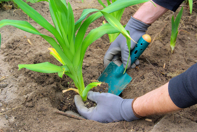 Planting a daylily royalty free stock photo