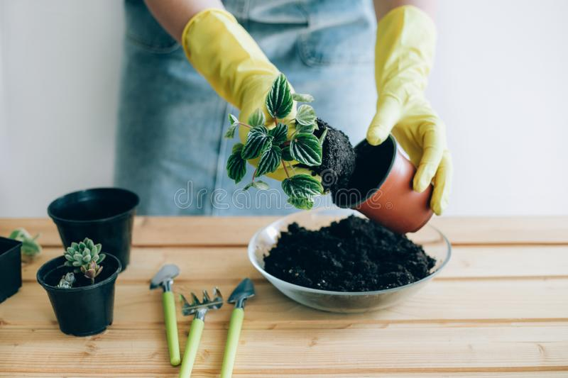Hands of a young woman planting in the flower pot. stock photo