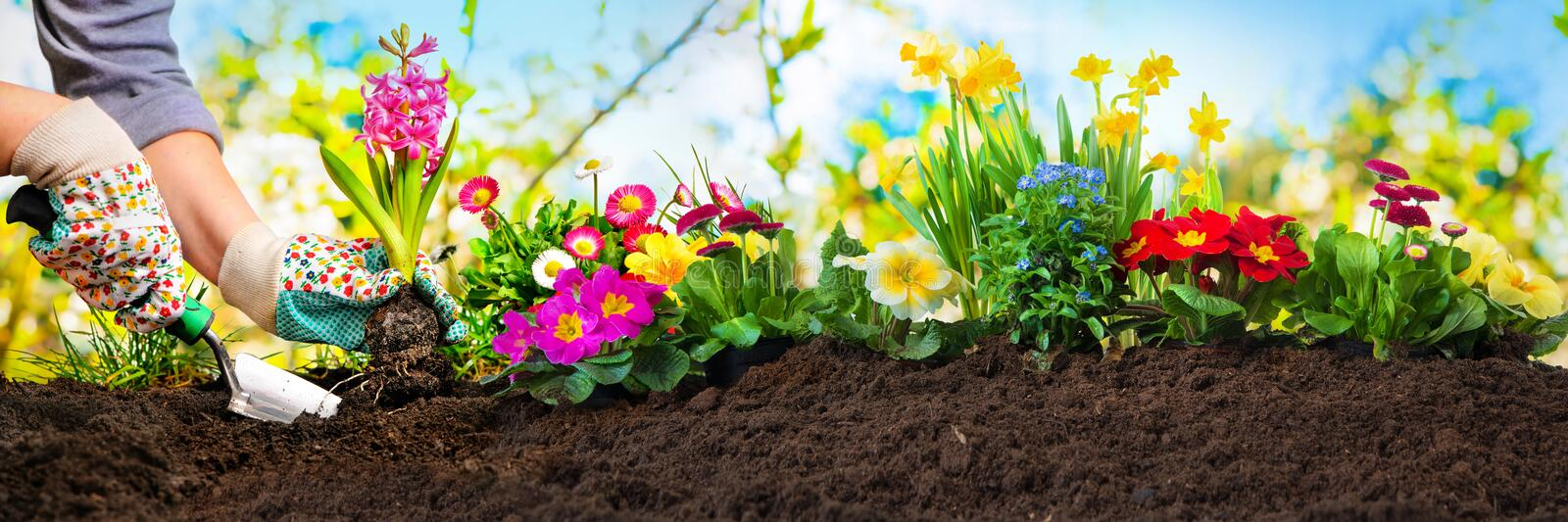 Planting flowers in a garden stock image