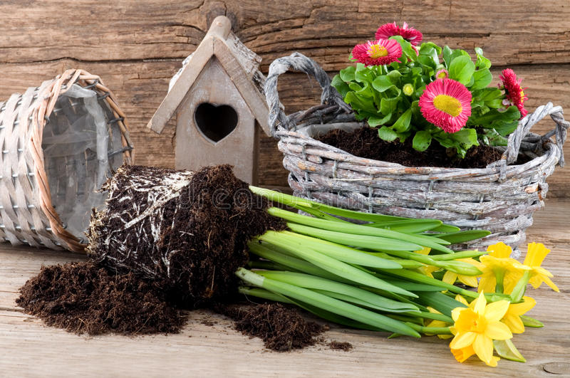 Planting fresh flowers in rattan pots royalty free stock photography