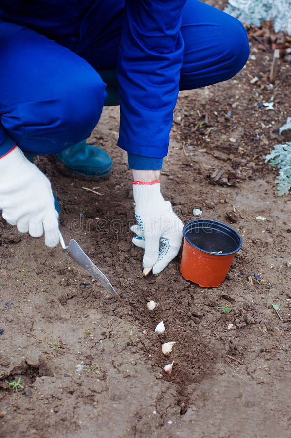 Planting garlic into the ground stock photo