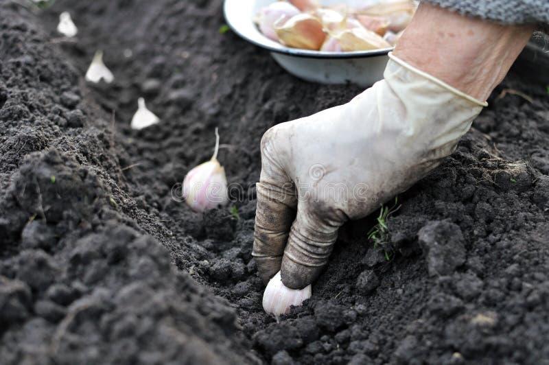 Planting the garlic royalty free stock image