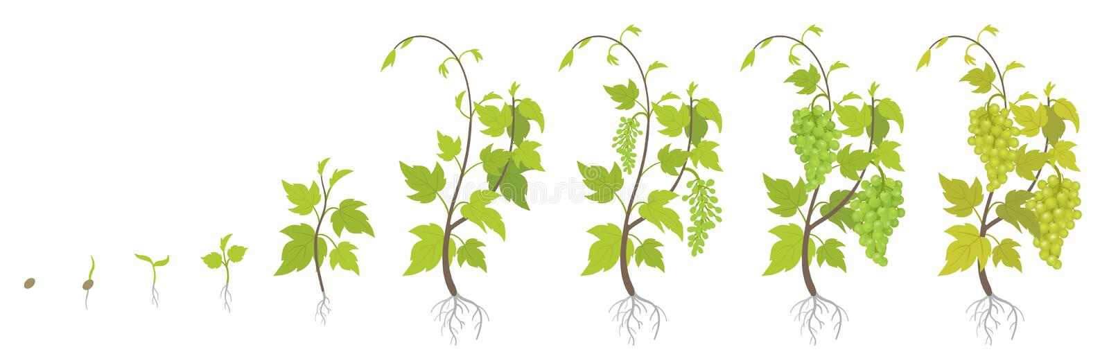 Planting growth stages of grapes plant. Vineyard planting increase phases. Vitis vinifera harvested. Ripening period infographics. Planting growth stages of royalty free illustration