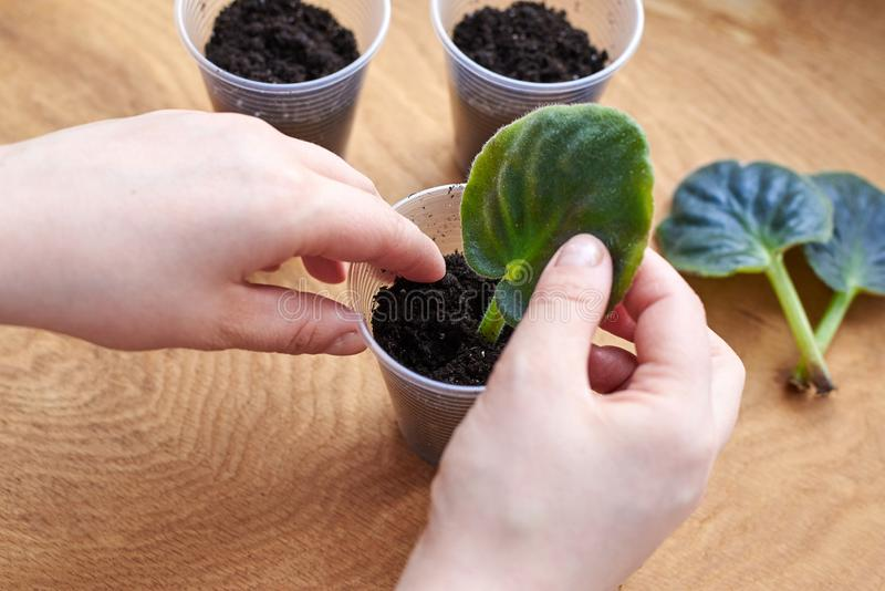 Planting a leaf of violet, Saintpaulia, in a prepared container with ground stock photo