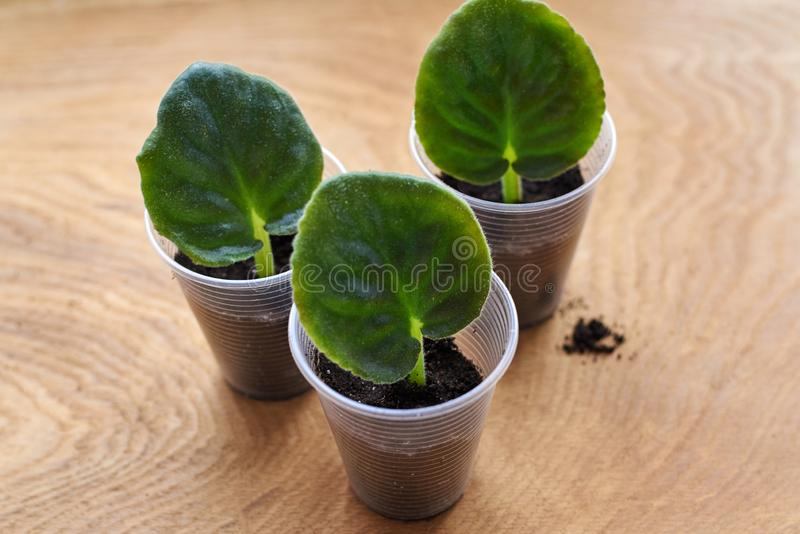Planting a leaf of violet, Saintpaulia, in a prepared container with ground royalty free stock image