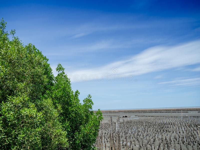 Planting mangrove forests to reduce the impact of coastal erosion and reduce global warming at Thailand. Mangrove forest area stock images