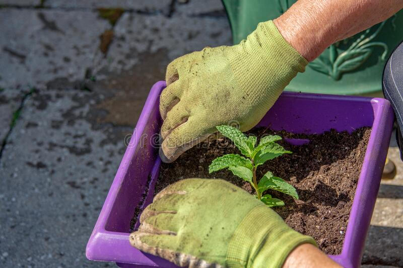 Planting a mint bush in a pot royalty free stock photos