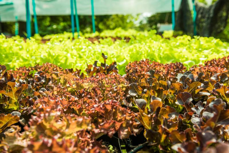 Planting non-toxic Organic vegetables Salad Dressings beautiful. Green leafy are grown in the garden with a natural way of safe stock images