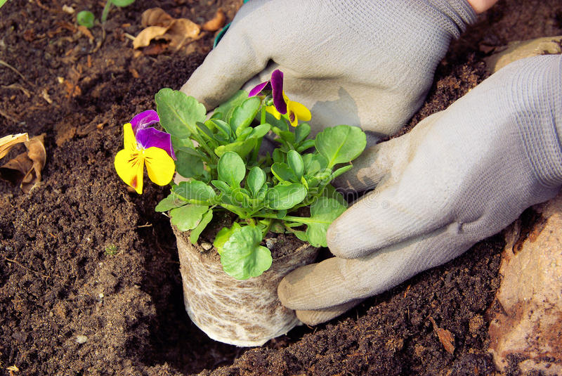 Planting pansy royalty free stock photo