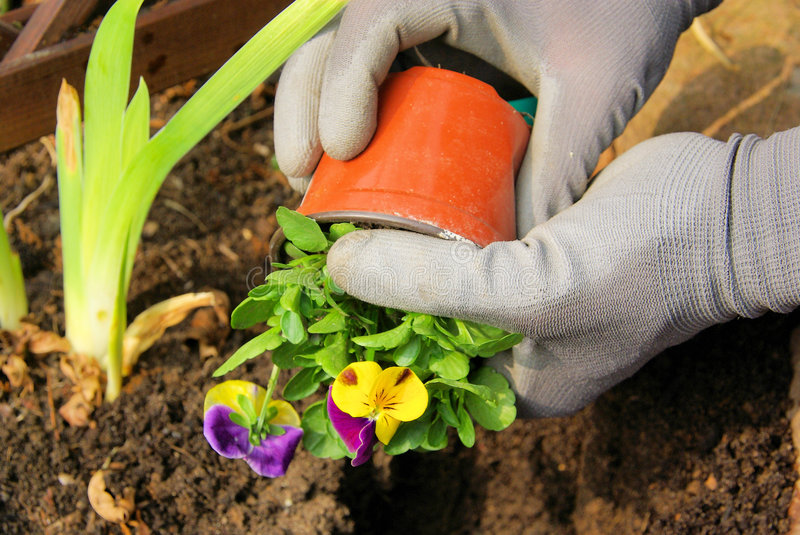 Planting pansy royalty free stock photography