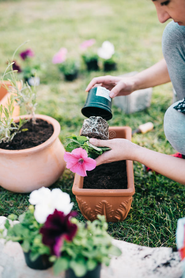 Planting petunia plants royalty free stock images