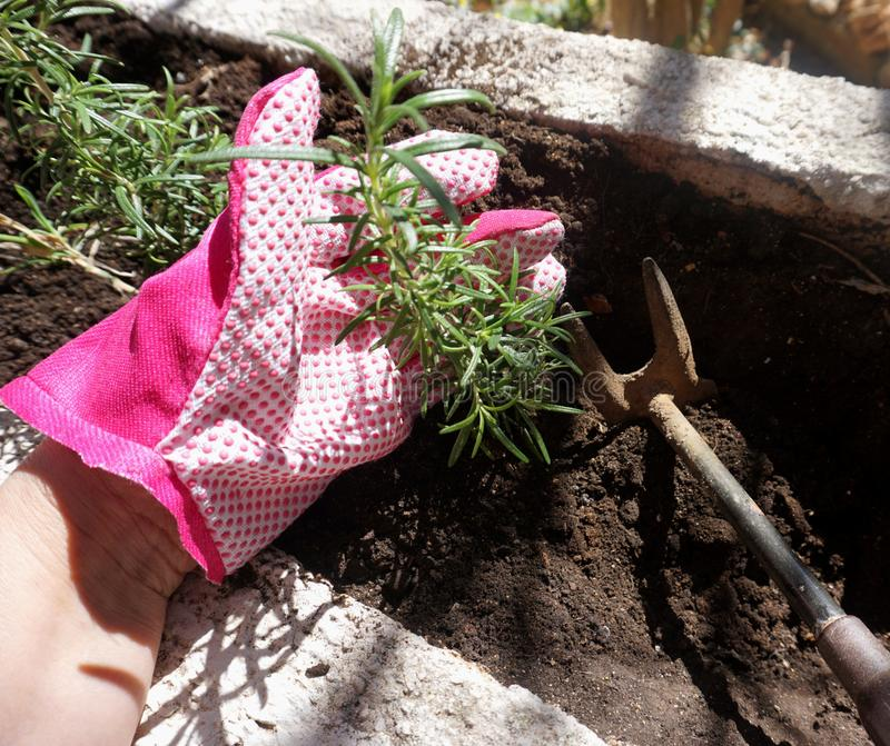 Planting plants in spring. Woman hand in gardening glove holding a rosemary plant with small hoe in the digging ground. Gardening stock photo