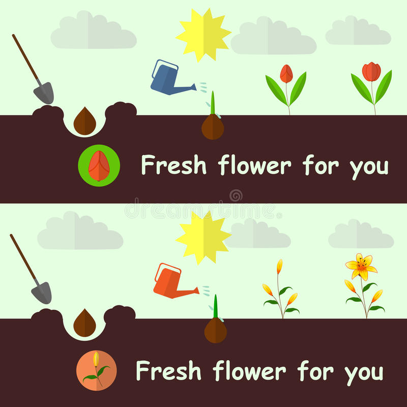 Free Planting Process Tulip And Lily Flat Vector, Set Royalty Free Stock Photo - 57946795