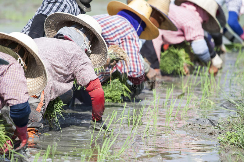 Planting rice in the rice fields.