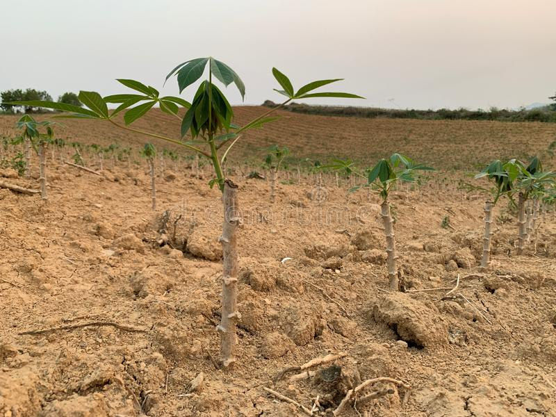 Planting rubber trees is sprouting, growing, progressing royalty free stock photo