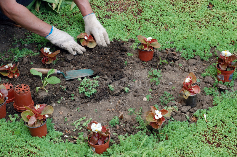 Planting the seedlings royalty free stock photos