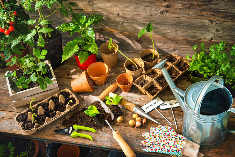 Planting seedlings in greenhouse stock image