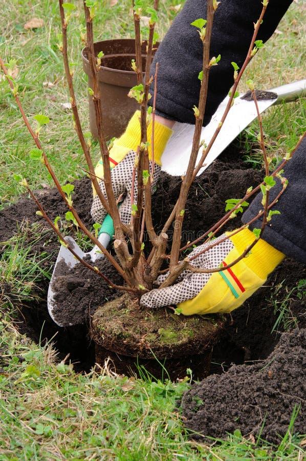 Planting a shrub stock photos