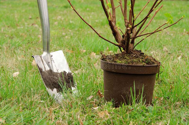 Planting a shrub stock photo