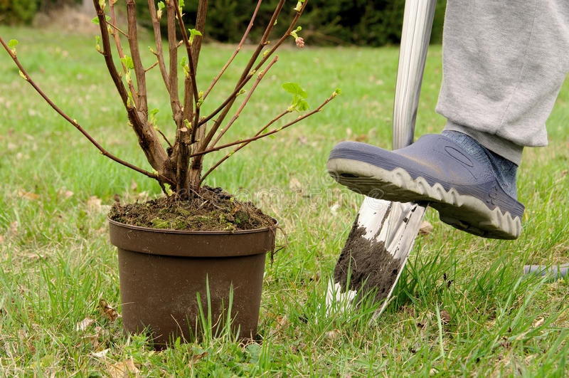 Planting a shrub royalty free stock photos