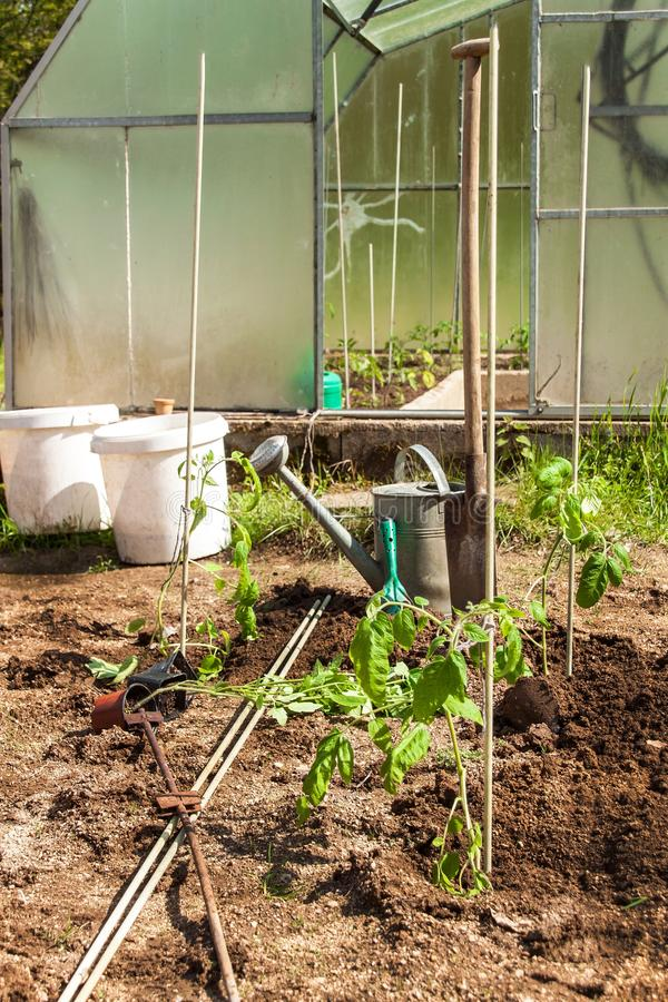 Planting tomato bushes in a small garden with a greenhouse. Home grown vegetables.  stock image