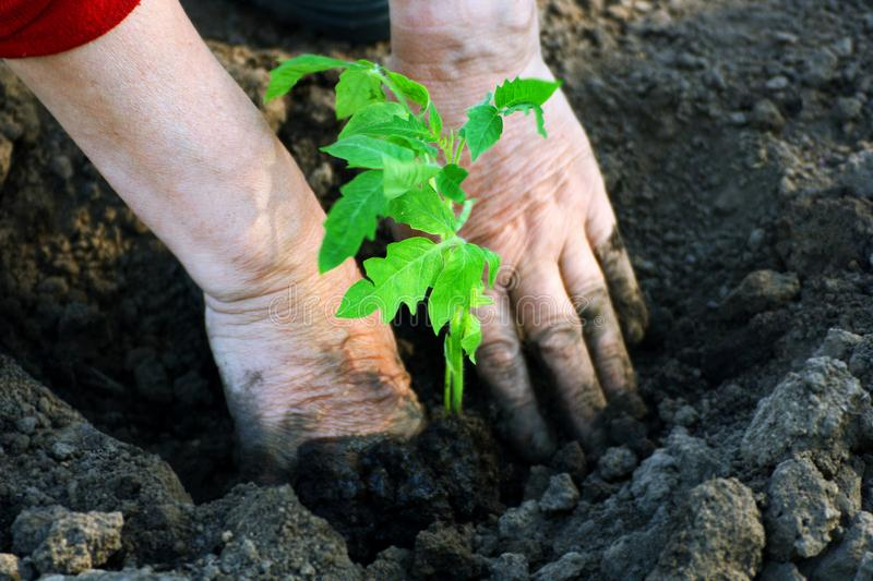 Planting tomatoes in the soil. The person planting the tomato seedlings. Closeup of the hands of the person who placed the sprouts into the soil stock images