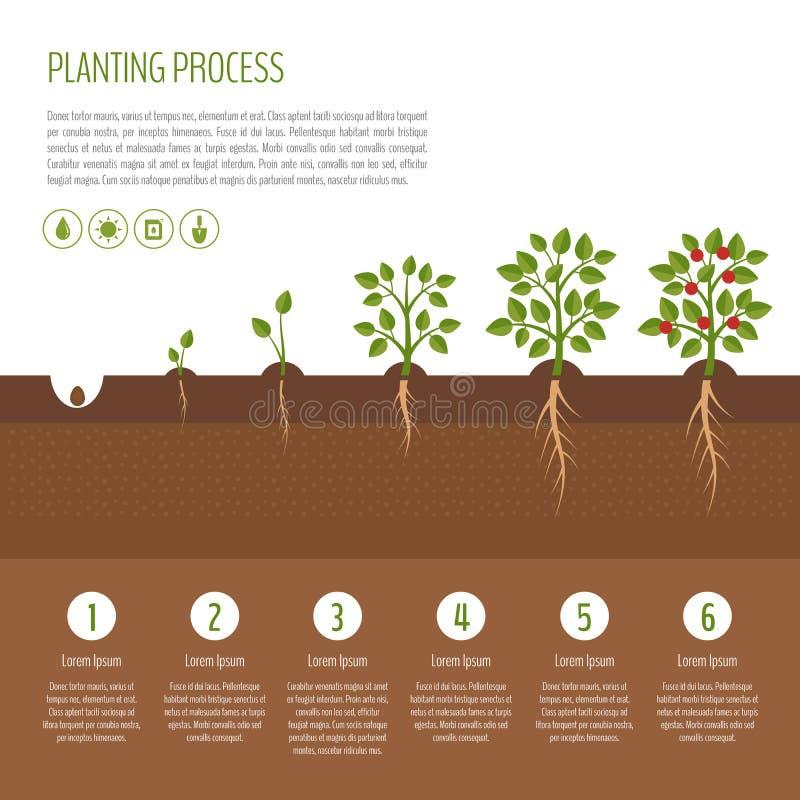 Planting tree process infographic. Tree growth. Bush vegetables stock illustration
