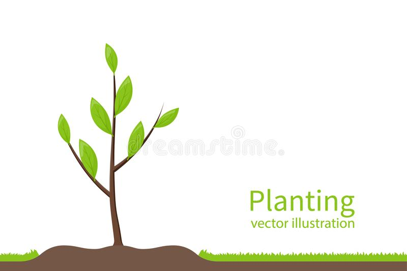 Planting tree. Process planting concept. Gardening agriculture, caring for environment. Vector illustration flat design. Young sapling stock illustration