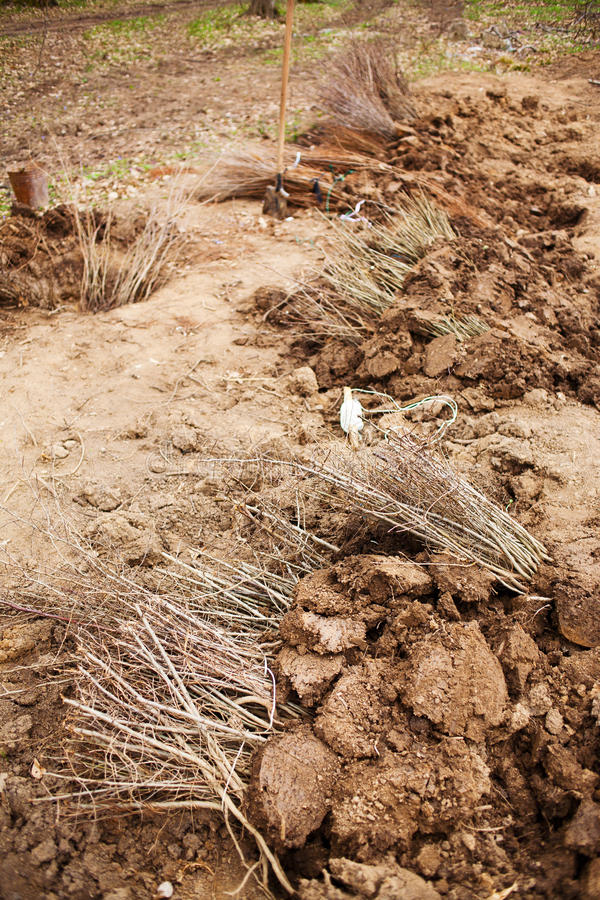 Planting trees. Garden with dug holes ready for planting trees or shrubs royalty free stock image