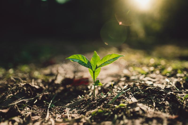 Planting trees Seedlings in the forest Evening light stock image