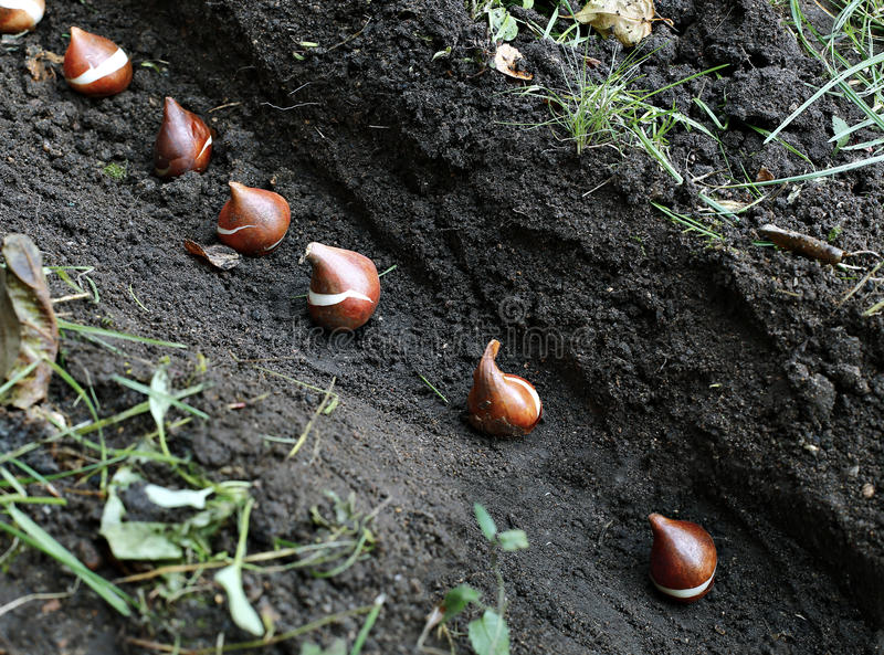 Planting of tulip bulbs in the soil. In the garden royalty free stock image