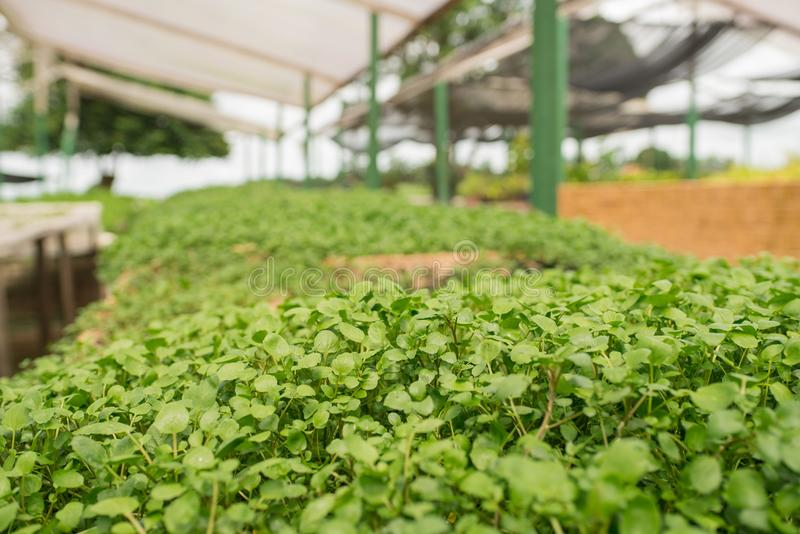 Organic vegetable gardening in the greenhouse royalty free stock photos