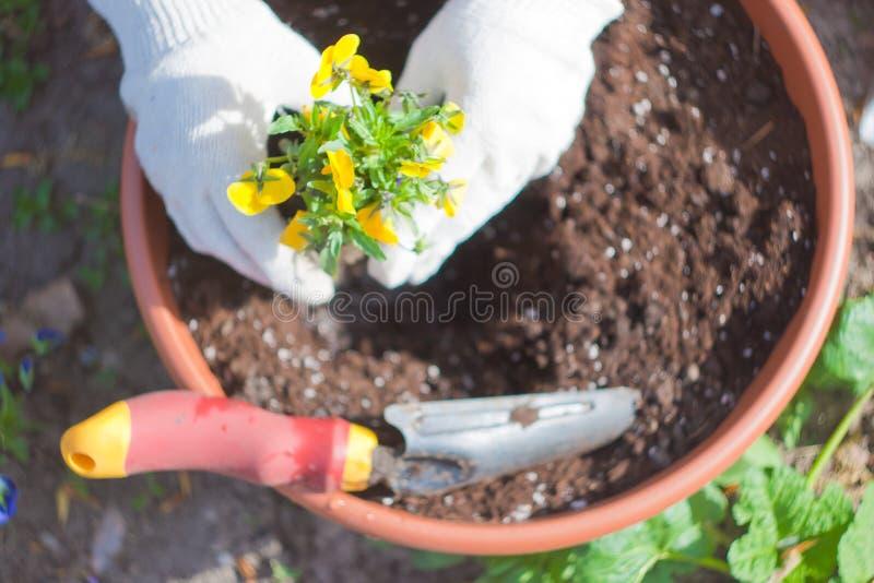 Planting viola in pot royalty free stock photo