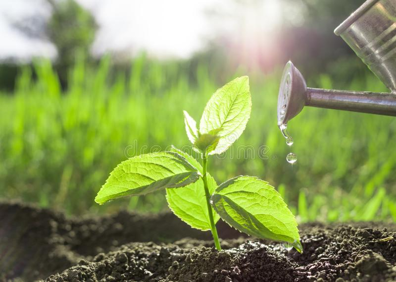 Planting and watering seedlings. Image royalty free stock photos