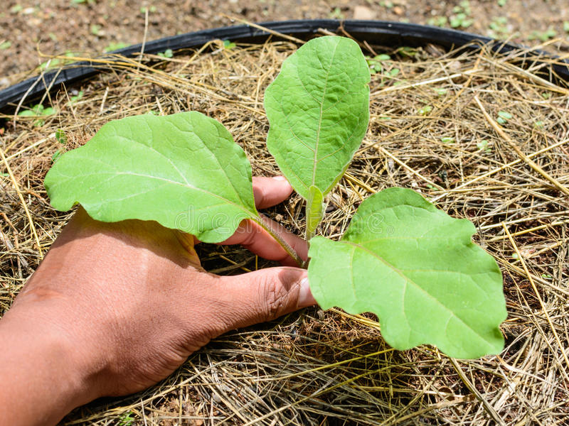 Planting a young eggplant tree royalty free stock images