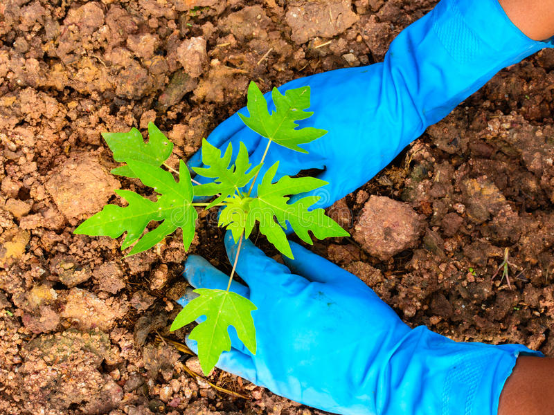 Planting a young papaya tree stock photo