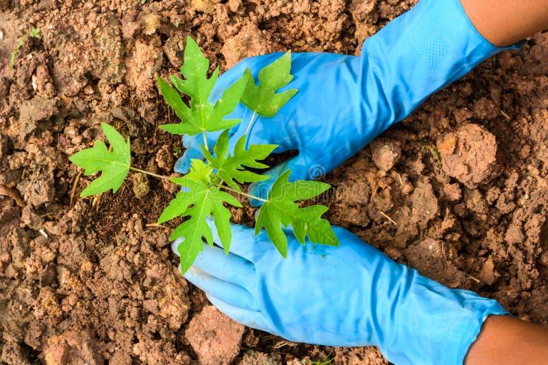 Planting a young papaya tree royalty free stock images