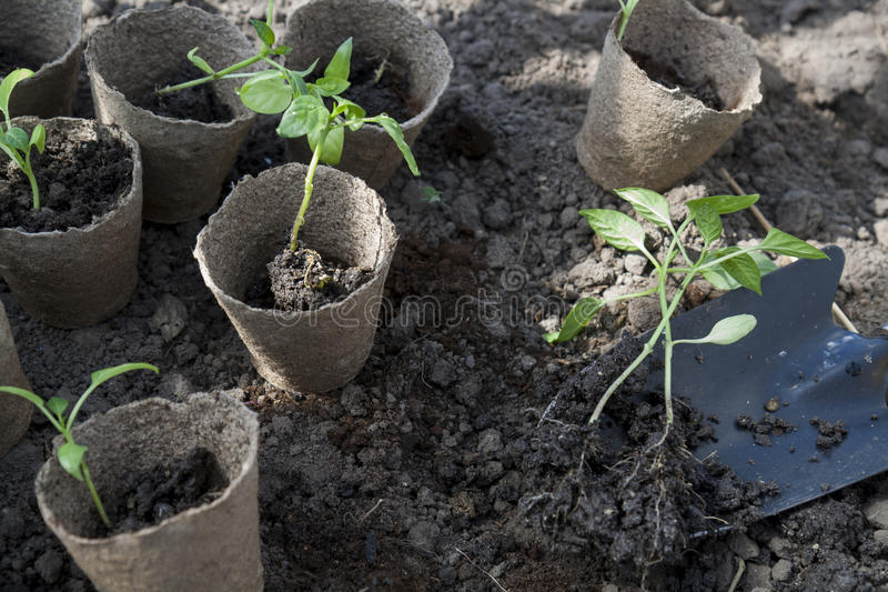 Planting young peppers seedlings in peat pots on soil background stock photo