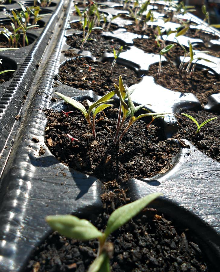 Planting. Young plants in seed containers stock photo