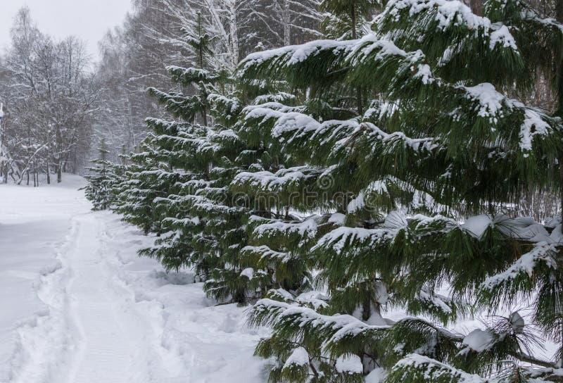Young Siberian cedars stock image