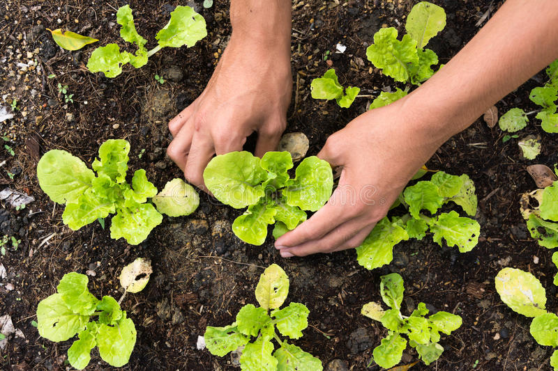 Planting young vegetable royalty free stock photos