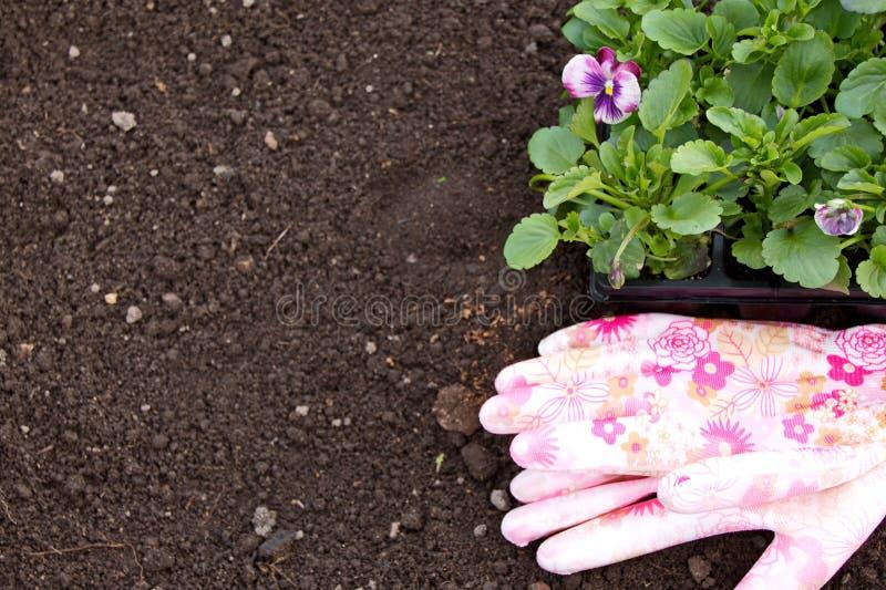 Plantor av altfiolen blommar på jordnings- och gummihandskarna royaltyfri fotografi