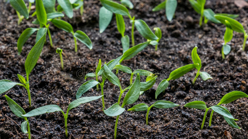 Plantor av aubergine, tomat, söta peppar som växer i en genomskinlig behållare på fönstret i den jord- jorden i a arkivbilder